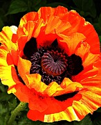 Nature Center Posters - Huge Poppy Poster by Chris Berry