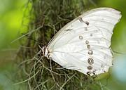 Sabrina L Ryan - Huge White Morpho Butterfly
