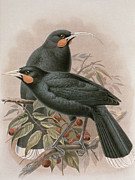 Birds Of A Feather Posters - Huia Poster by Johan Gerard Keulemans