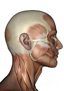 Human Head Posters - Human Anatomy Of Male Facial Muscles Poster by Elena Duvernay
