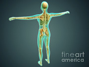 Human Skeleton Art - Human Body Showing Skeletal System by Stocktrek Images