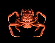 Science Photo Library - Human-faced crab