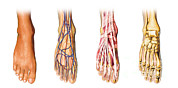 Human Anatomy Prints - Human Foot Anatomy Showing Skin, Veins Print by Leonello Calvetti