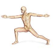 Human Skeleton Art - Human Male In Athletic Dynamic Posture by Leonello Calvetti