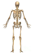 Human Skeleton Art - Human Skeletal System, Back View by Stocktrek Images