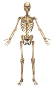 Human Skeletal System, Front View Print by Stocktrek Images