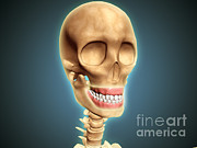 Grey Background Prints - Human Skeleton Showing Teeth And Gums Print by Stocktrek Images