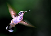 Photographic Art Art - Hummer Ballet 1 by ABeautifulSky  Photography