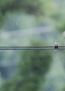 Bird On A Wire Posters - Hummer in the Rain Poster by Heather Applegate
