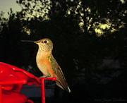Joyce Dickens - Humming Bird Beauty
