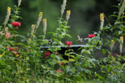 Flower Gardens Photos - Humming Bird by Bill  Wakeley