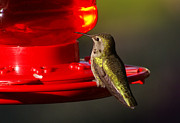 Feeder Greeting Cards Posters - Humming Bird Feeder Poster by Ron Roberts