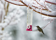 Paul W Sharpe Aka Wizard of Wonders - Humming Bird in the Snow