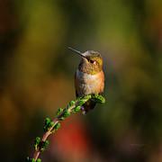 Xueling Zou - Hummingbird 1