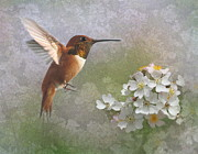 Rufous Hummingbird Posters - Hummingbird and Berry Blossoms Poster by Angie Vogel