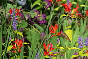 Feeding Birds Prints - Hummingbird and Crocosmia Lucifer Print by Michelle Calkins