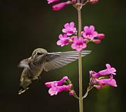 Saija  Lehtonen - Hummingbird and the Pink Penstemon