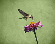 Indiana Photography Posters - Hummingbird and Zinnia Poster by Sandy Keeton