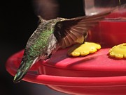 Jay Milo - Hummingbird At Feeder