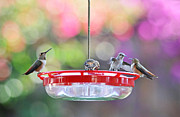 Migrating Hummingbird Framed Prints - Hummingbird Cafe Framed Print by Lynn Bauer