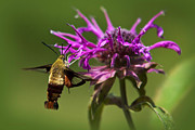 Flying Insects Posters - Hummingbird Clearwing Moth Poster by Christina Rollo