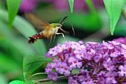 Hummingbird Clearwing Moth Print by Gary Keesler