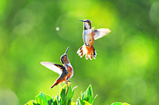 Lynn Bauer Photography Posters - Hummingbird Dance Poster by Lynn Bauer