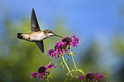 Ruby Throat Hummingbird Prints - Hummingbird Dance With Flowers Print by Christina Rollo