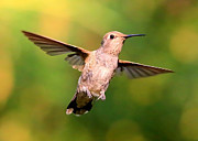 Hummingbird In Flight Posters - Hummingbird Encounter Poster by Carol Groenen