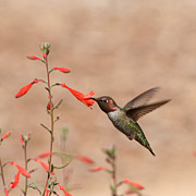Bob and Jan Shriner - Hummingbird Feeding