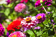 Flower Gardens Prints - Hummingbird Flight Print by Garry Gay