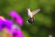 Fuad Azmat Art - Hummingbird by Fuad Azmat