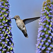 Blue Flowers Originals - Hummingbird Hover by Matt MacMillan
