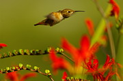Living Things Framed Prints - Hummingbird In A Rush Framed Print by Jeff  Swan
