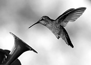 Feeder Framed Prints - Hummingbird in Black and White Framed Print by Carol Groenen