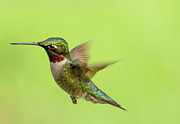TJ Baccari - Hummingbird in Flight
