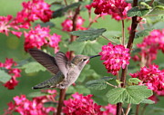 Birds And Flowers Posters - Hummingbird in the Flowering Currant Poster by Angie Vogel