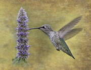 Nectar Posters - Hummingbird in the Mint Poster by Angie Vogel