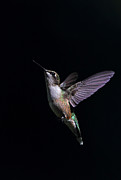 Jim Cumming - Hummingbird
