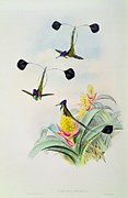 Hummingbird Drawings Metal Prints - Hummingbird Metal Print by John Gould
