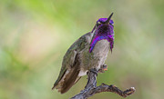 Michael Moriarty - Hummingbird Male Costa