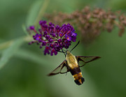 Douglas Stucky Metal Prints - Hummingbird Moth III Metal Print by Douglas Stucky