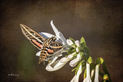 Jeff Swanson Metal Prints - Hummingbird Moth Metal Print by Jeff Swanson