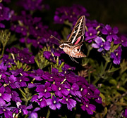 Kim Price - Hummingbird Moth