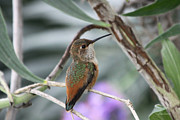 Diana Haronis Prints - Hummingbird on a Branch Print by Diana Haronis