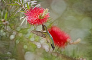 Feeding Hummingbird Framed Prints - Hummingbird on Bottlebrush Framed Print by Bonnie Barry