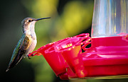 Feeder Greeting Cards Posters - Hummingbird On Feeder Poster by Connie Dye