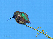Tom Janca - Hummingbird On Perch