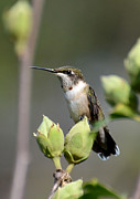 Kathy Baccari - Hummingbird Perched