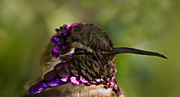 Violet Photos - Hummingbird Portrait by Robert Bales